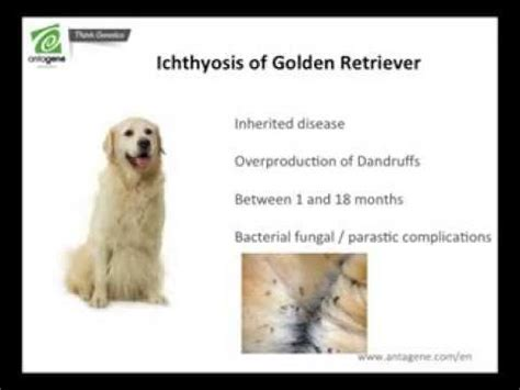 ichthyosis in golden retrievers treatment ichthyosis golden retriever assistedlivingcares