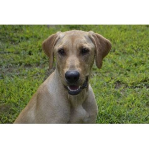 lab puppies nh unity pond labradors labrador retriever breeder in weare new hshire listing id