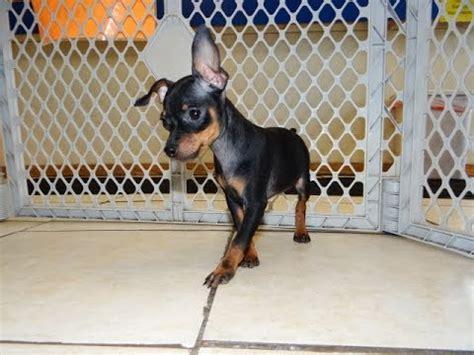 miniature pinscher puppies dogs  sale  charlotte