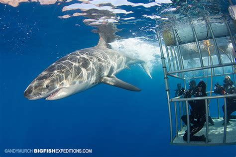 great white shark dive cage diving with great white sharks at guadalupe island