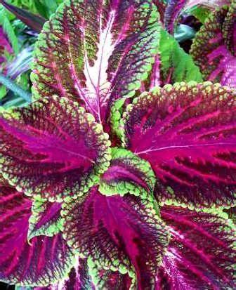 Pianta Ornamentale Con Foglie Rosse E Verdi coleus lamiaceae como curar y cultivar las plantas de