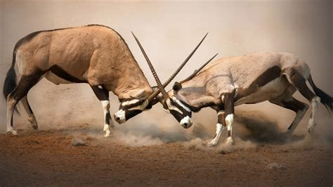 animals fighting animal fight club national geographic