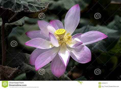 pink lotus stamen lotus stamen shine stock photo image 64562272