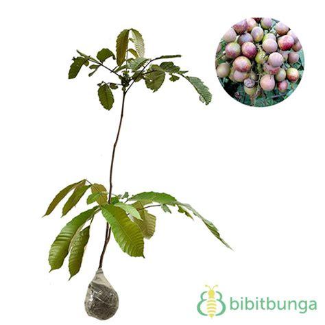 Bibit Markisa Kuning tanaman markisa fruit bibitbunga