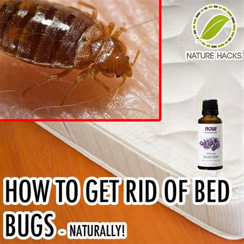 how can u get rid of bed bugs how to get rid of bed bugs