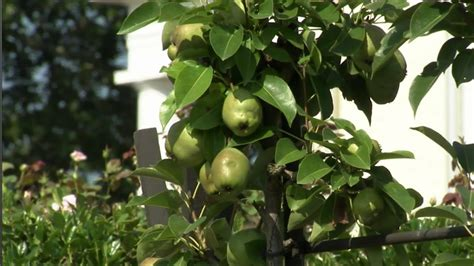 home fruit trees fruit tree espalier at home with p allen smith