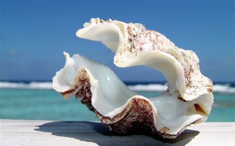 shell wallpaper sea shell wallpapers wallpaper cave