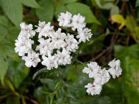 fior di sposa fiore della nebbia velo di sposa gypsophila paniculata