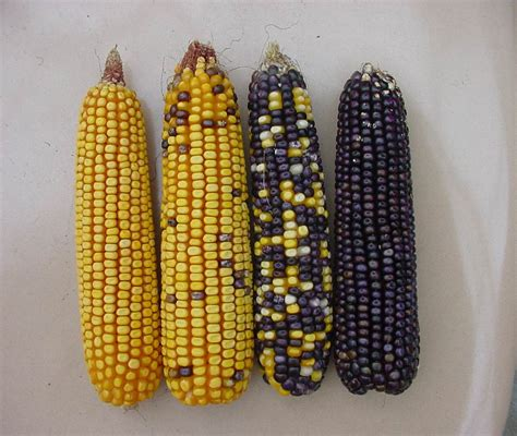 corn colors mixed kernel colors troubleshooting abnormal corn ears