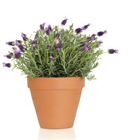 best 25 lavender care ideas on pinterest