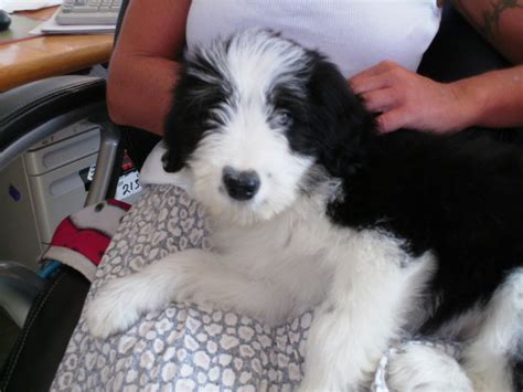 bearded collie puppies for sale beautiful bearded collie puppies for sale stirling stirlingshire pets4homes