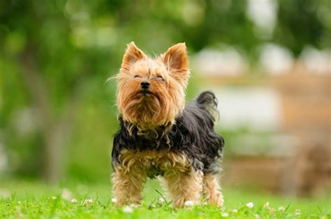 smartest small breeds 10 smartest small breeds iheartdogs