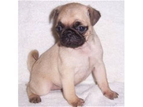 pug breeder virginia pug puppies for sale