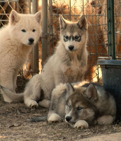wolfdog puppies wolf puppy buddies by greensh on deviantart