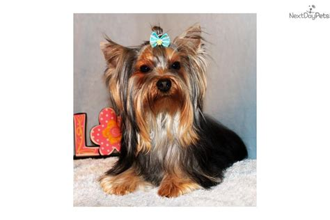 grey yorkie terrier yorkie puppy for sale near los angeles california 44ccb96a a001