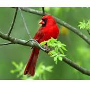 Red Bird 2 1280x1024 Wallpapers