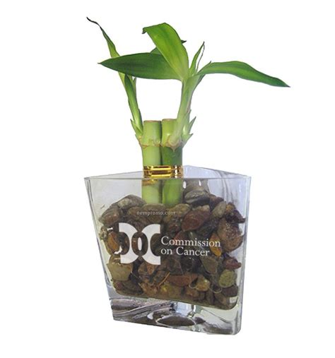 Lucky Bamboo Vases Pots by Lucky Bamboo In Triangular Glass Vase 4 Quot China Wholesale