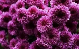 chrysanthemum mum is the word