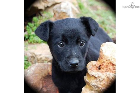 labrottie puppies for sale adopt loki a labrador retriever puppy for loki quot labrottie quot