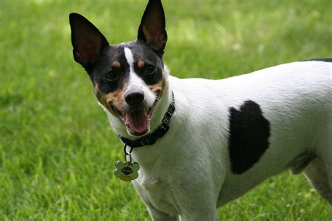 terrier puppy rat terrier info temperament care puppies pictures