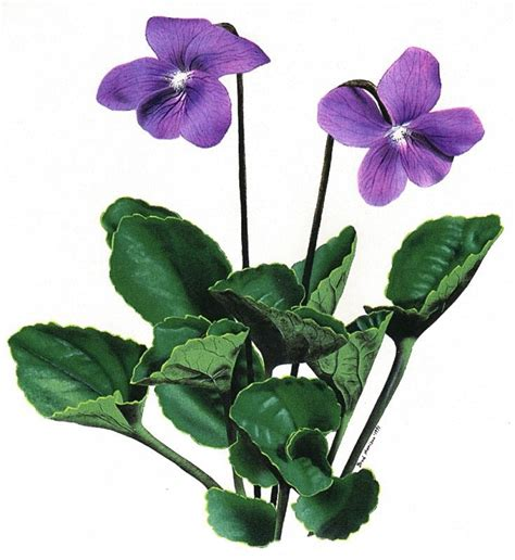 violet clipart violett clipart clipground