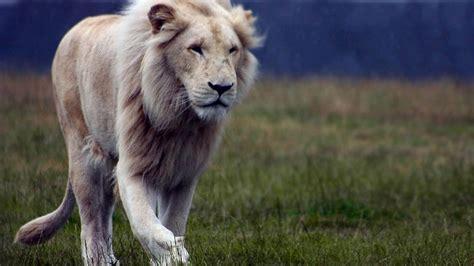 wallpaper hd 1920x1080 lion white lion hd wallpapers