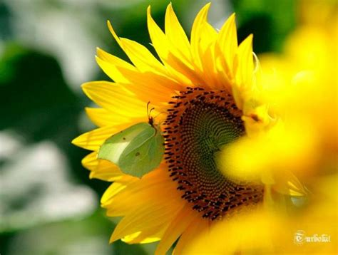 Minyak Bunga Matahari pojok hijau