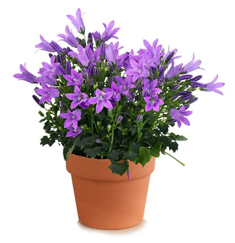 Flowers For Mother S Day by Campanulas Purple Get Mee White Wonder Flowers Rocket Farms