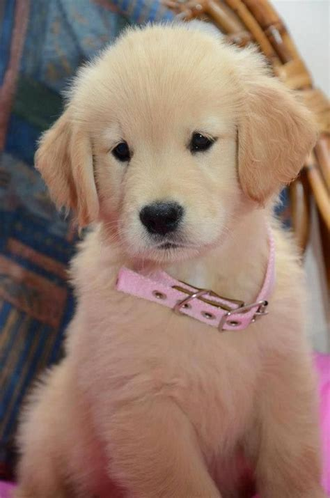 golden retriever name 10 best golden retriever names pinsit