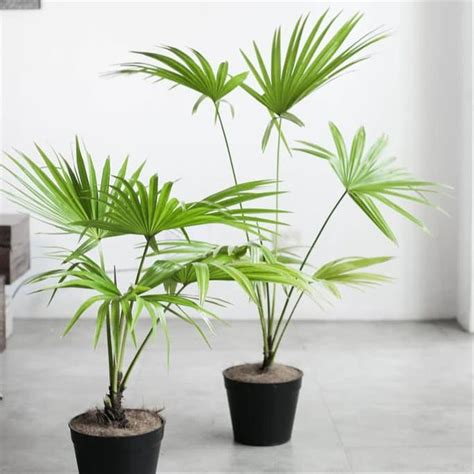 jual tanaman hias indoor pohon palem livistona  lapak