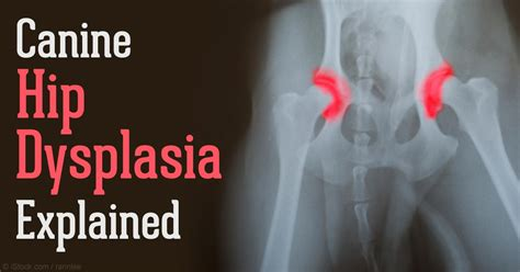 hip dysplasia surgery cost what breeds are prone to hip dysplasia breeds picture