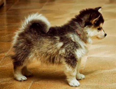 buying a pomeranian pomsky pomeranian and siberian husky side by side comparison pomsky pup