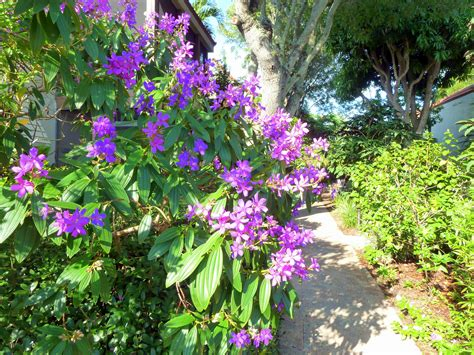 Sanibel Island Botanical Garden Purple Tree Blooming In Our Sanibel Beachside Botanical Gardens Sanibel Moorings