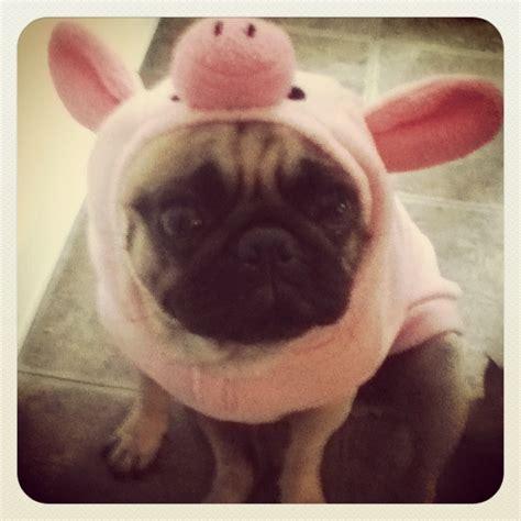 pig pug pig pug oh so precious