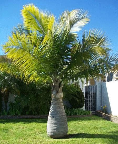 tree images bottle palm tree for sale fast growing trees
