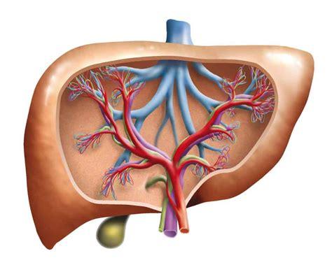 high liver enzymes   fatty liver liversupportcom