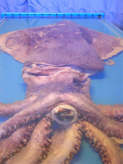 calamares gigantes del mito y la leyenda a la realidad calamares gigantes del mito y la leyenda a la realidad