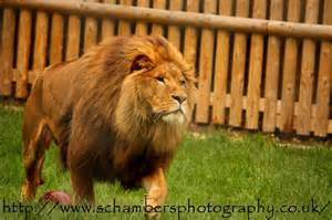 Lion animal experiences at wingham wildlife park in kent