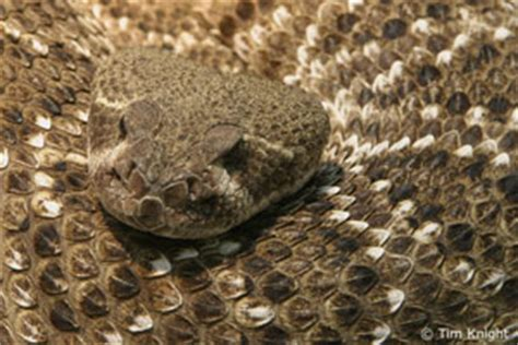 Western Diamondback Rattlesnake Facts - NatureMapping Western Diamondback Rattlesnake Head