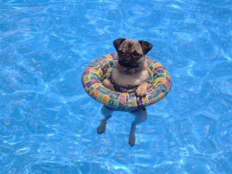 do pugs swim our pug when she was taking a dip in the pool pix you