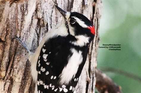 downy woodpecker a yard bird in many areas birds and blooms