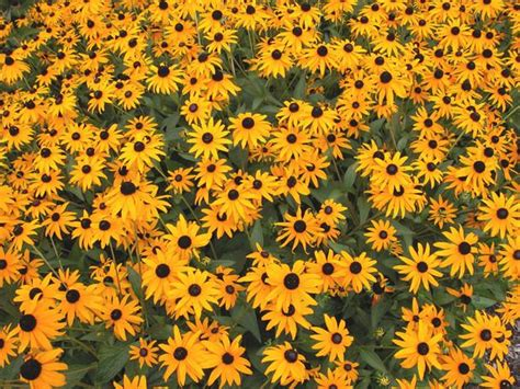 fall blooming perennials 27 best images about sun loving plants for the south side