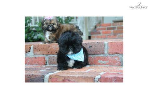 imperial shih tzu puppies for sale in houston tx shih tzu puppy for sale near louisiana 27626651 c061