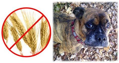 brat diet for dogs ottawa valley whisperer species appropriate diet for dogs get the grains out
