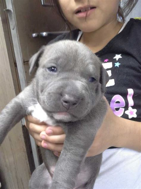 free pitbull puppies in pa pit bulls page 7 for sale ads free classifieds