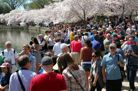national cherry blossom festival national cherry blossom festival