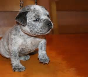 Blue pitbulls for sale pitbull puppies blue nose pitbull pictures to