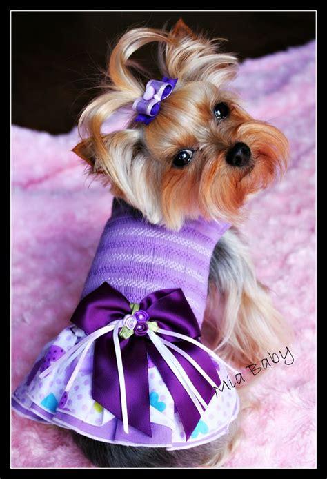 yorkie dresses yorkie in purple dress yorkie teacup pink yorkie terrier