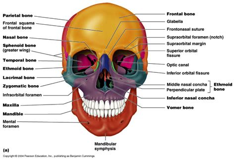 skull diagram labeled skeleton 171 kaiserscience