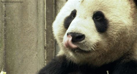 Sex Panda Meme - wild about pandas gifs find share on giphy